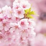 大阪城公園でお花見!場所取りの時間は何時頃がベスト?私の体験談