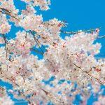 五月山公園のお花見2017♪桜の見所・アクセス方法やおすすめスポット情報も